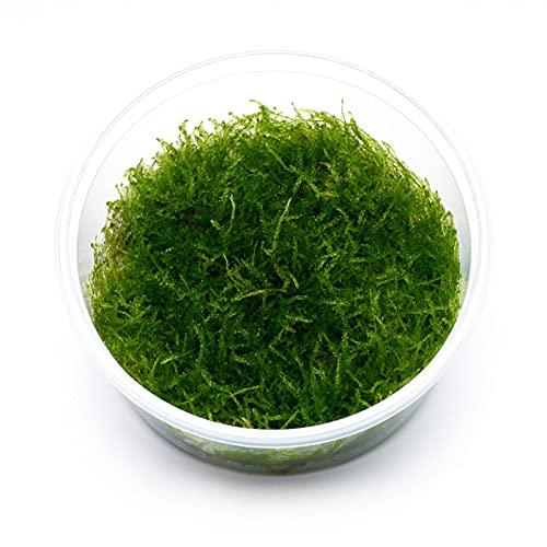 Guemmer Plant Taxiphyllum sp. barbieri - Javamoos in vitro 8,5cm...