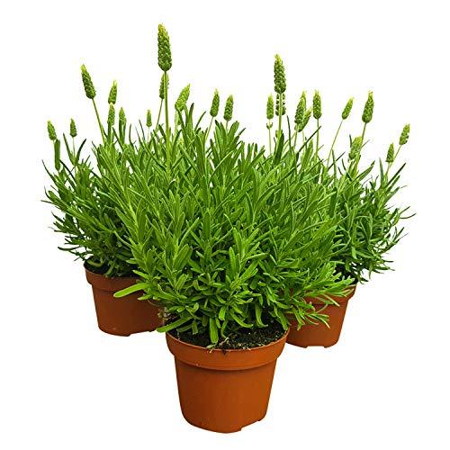 5 weiße Lavendel-Pflanzen