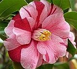 Lady Vansittart Camellia Japonica - Live Plant - Quart Pot