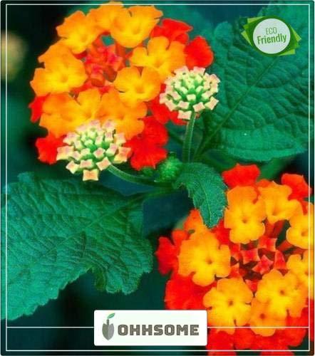 Pinkdose Tropic Herb Graines sauge jaune printemps et l'été aux herbes Graines Cuisine Jardin Graines Paquet de semences