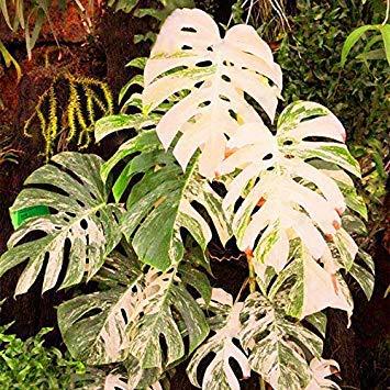 Samen Keimung: 200 Stück Palme Schildkröte Blätter, Monstera Veränderte Samen Seltene Bäume, Mischfarbe