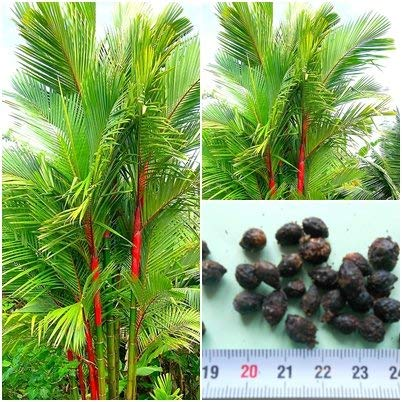 seedsown Lipstick Palm - 20 Samen - Cyrtostachys Renda - Dichtungs-Wachs Palm - Seltenheit !!!