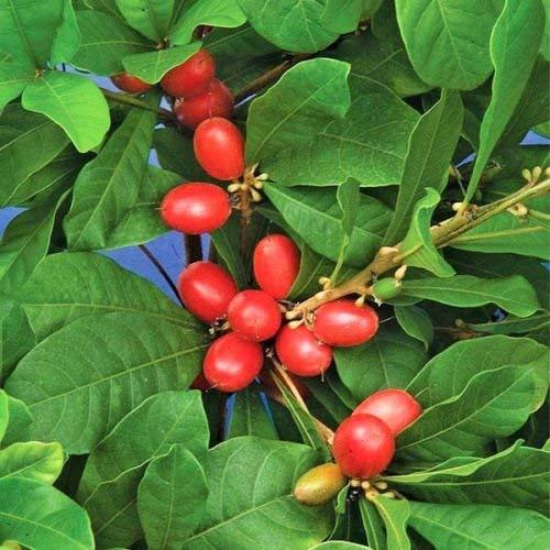 Miracle Fruit @@ Synsepalum dulcificum seltene Tropische exotische Beere Essbare 3 Seeds