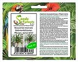 Pezzi - 10x Beaucarnea Recurvata Piede di Elefante Giardino Piante - Seme B777 - Seeds Plants Shop Samenbank Pfullingen Patrik Ipsa