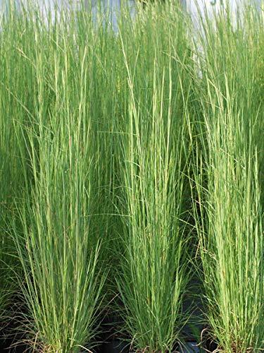 Perennial Farm Marketplace Andropogon virginicus (Broom Sedge) Ornamental Grass, Size-#1...