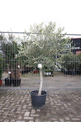 Olivenbaum 180-220cm, 20 jahre alt, winterhart, 16-20cm stammumfang
