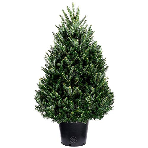 Fraser Fir Pot Grown Christmas Tree - Choice of sizes