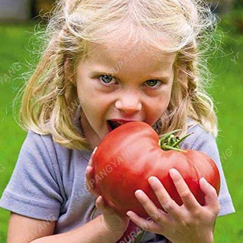 100 Graines de légumes de haute qualité des semences de tomate Arbre Semences de tomates de serre de tomates arbustives Escalade Balcon Rouge Potted