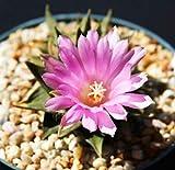 Shippment internazionale Ariocarpus trigonus esotico fiore di cactus colori aztekium rare cactus seed 10 semi Semi ad alta germinazione L'immagine è solo per riferimento