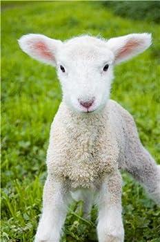CUTE BABY LAMB GLOSSY POSTER PICTURE PHOTO sheep farm animal zoo decor wall