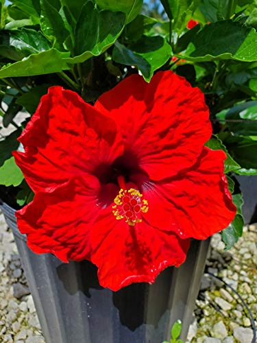 2 to 5 Inches Tall, Exotic Hoochie Coochie Hibiscus Dark Red Starter Live Plant