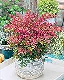 Aimado Seeds Garden-20 Pcs Bambou sacré arbre graine vivace exterieur pot plante graines jardin