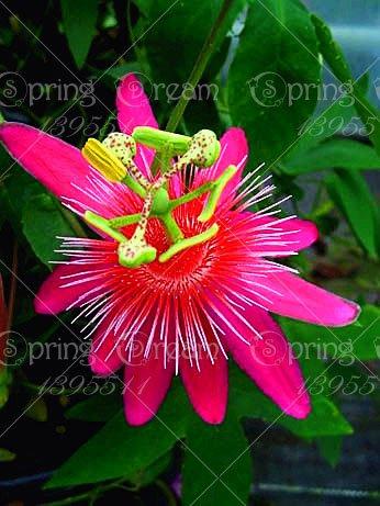 5pcs Passiflore (Passiflora incarnata), plantes Passion fruits exotiques Graines grenadille pour le jardin à la maison 4