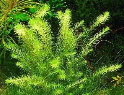 WFW wasserflora Grünes Mooskraut/Mayaca fluviatilis
