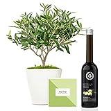 Set Regalo Olearum con árbol olivo natural 38 cm en maceta de 16 cm diámetro, guía de cuidados y aceite de oliva virgen extra entregado en caja de regalo