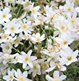 Clematis Early Sensation Evergreen Spring Flowering Climbing Plant 1 Litre Pot