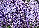Beautiful Blue Moon Wisteria Tree Plant 12-24