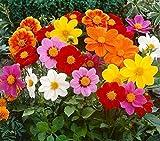 Schöne Gartenpflanzen Kleine Dahlia Pinnata Blumensamen, Seltene Knolle Terrassendahlie Schmuck Kleine Großfiedrige Dahlie Zierpflanze für Hausgarten Pflanztopf Topfpflanzen Steingärten Schalen