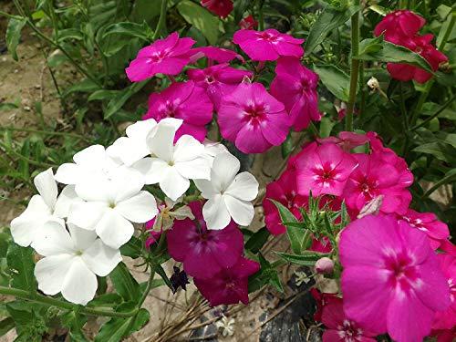 Phlox Jahrespflanzen Duft Blumen-Misch 500 Samen