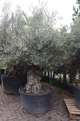 Olivenbaum Olea Europea winterhart, stammumfang 120/140cm, knorriger alte Stamm, Höhe ca.250cm