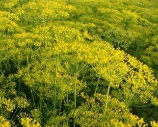JustSeed Herb Dill Bouquet Anethum graveolens 'Bouquet', 200 Samen klein Pack