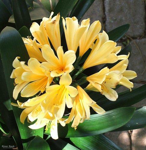 Giallo intenso Clivia 5 Semi - Rare - pianta della casa