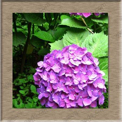 Hydrangea graines de fleurs, bonsaïs en pot balcon hydrangea 24 couleurs au choix, la gamme complète de 20 graines / paquet