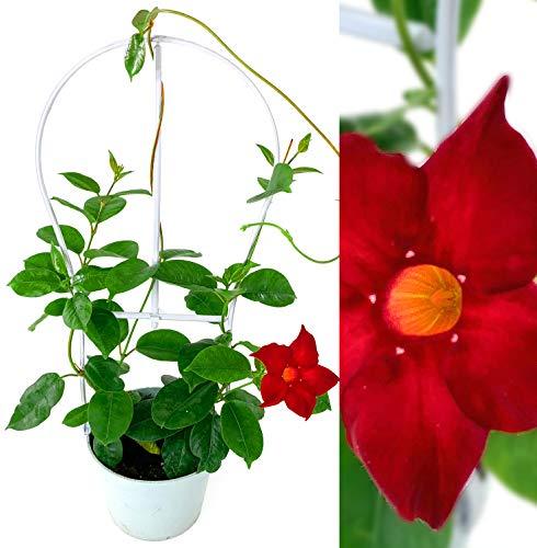Mandevilla Pflanze im Topf - Kletterpflanze Sundavilla Dipladenia Rot mit Deko Gitter Geschenkidee