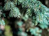 Semillas Semillas Bonsai azul Abeto Picea pungens Árbol de hoja perenne 100 partículas / bag 6