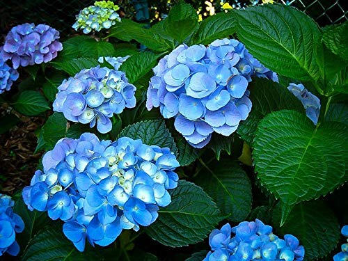 Alick 100 Stück Hortensien (Hydrangea...