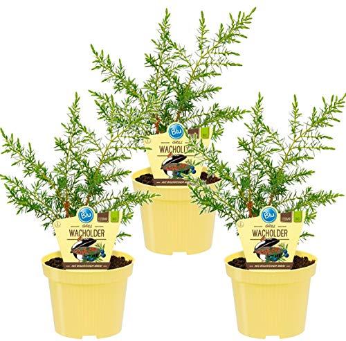 Bio Grill - Wacholder, (Juniperus communis 'Meyer'), bekannter Wacholderstrauch, Pflanzen aus nachhaltigem Anbau