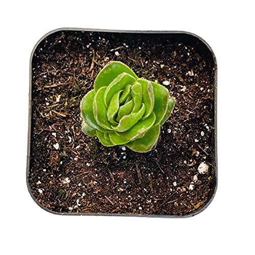 USKC Live Succulent Plants 2' Pot Crassula Buddha's Temple