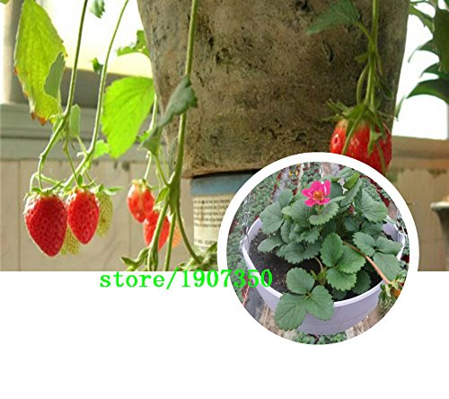 Paquet d'origine 100 graines / Pack, Strawberry Fruit maïs, Beau maïs fraise fruit, la plantation est simple