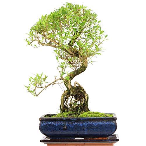 Junischnee, Bonsai, 11 Jahre, 39cm