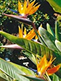 TROPICA - Paradiesvogelblume (reginae) (Strelitzia reginae) - 5 Samen