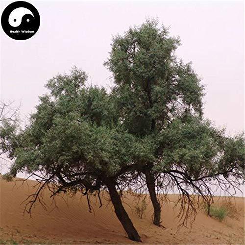 PLAT FIRM KEIM SEEDS: 30pcs: Kaufen Sand Date Tree Seeds Pflanze Wüste Obst Schmalblättrige Ölweide Sha Zao