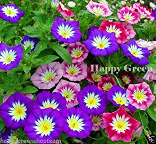 HOT - Dwarf Morning Glory Ensign Mix - 110 Seeds - Convolvulus Tricolor - Flower