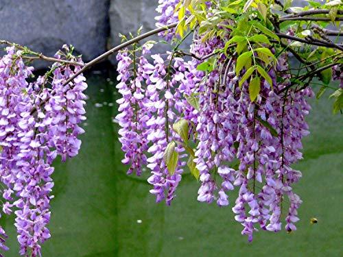 10+ Wisteria Tree Seeds Colorful Perennial Creeper Plants Garden Bonsai Ornamental