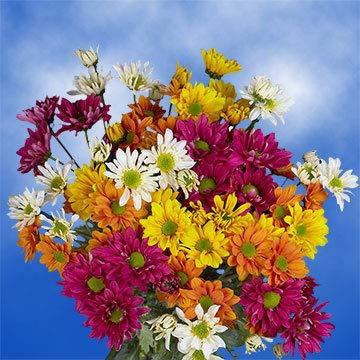 GlobalRose 36 Assorted Fresh Cut Chrysanthemums Daisies Flowers - Fresh Flowers For Birthdays, Weddings or Anniversary. from Globalrose