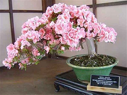 Livraison gratuite 10 pcs/sac rares Bonsai 17 variétés Sakura Graines Bricolage & Jardin Plantes japonais Graines de Cherry Blooms 8