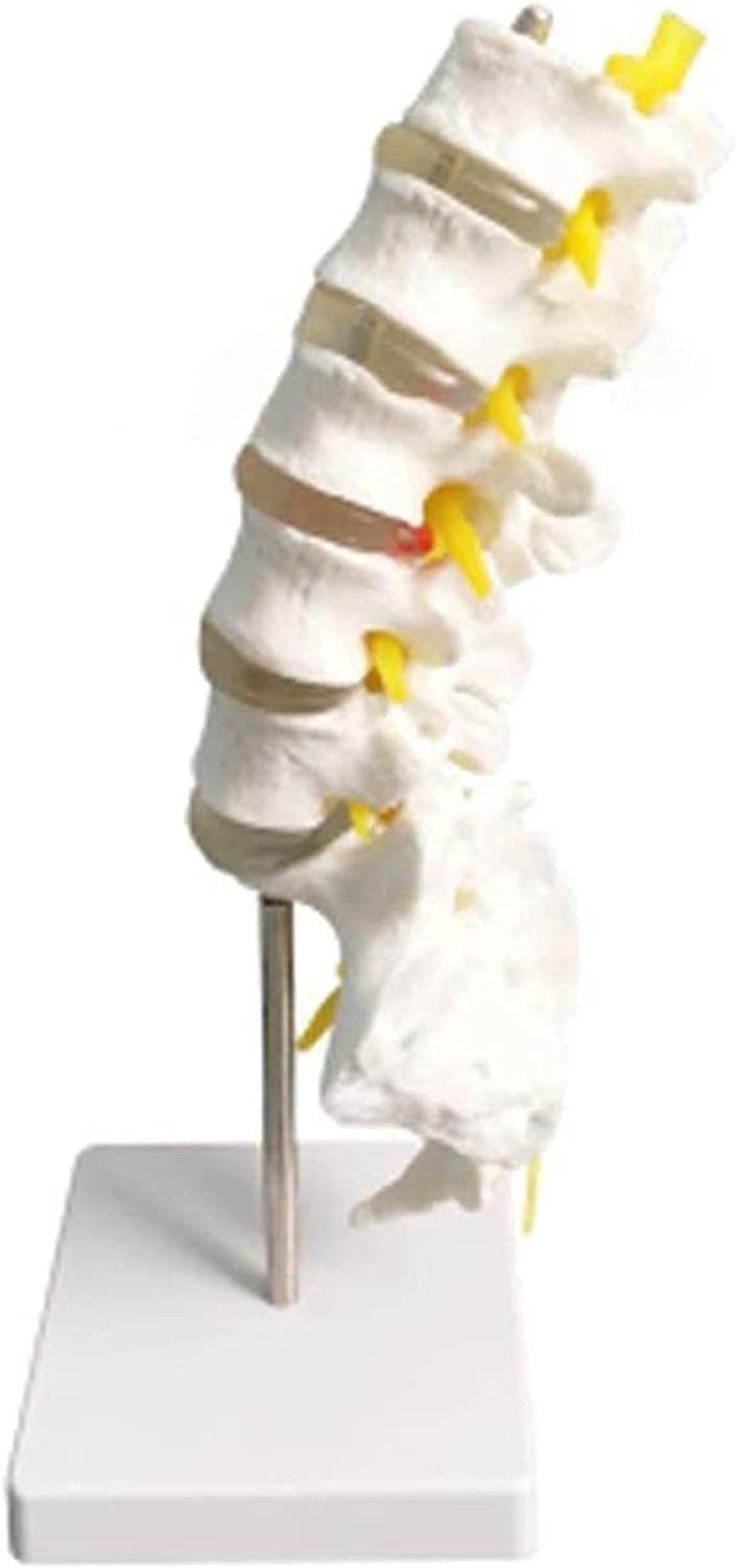 SENWEI Lumbar Super popular specialty store Spine Model Educational Now on sale S Human 5 1:1