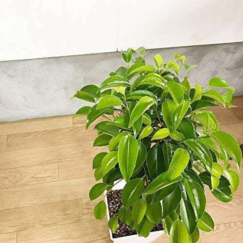 観葉植物のパーフェクトグリーン『ベンジャミンゴムの木受け皿付きスクエア鉢観葉植物』
