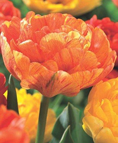 Gefüllte Tulpen Sun Lover Tulpenzwiebeln (10 Blumenzwiebeln)