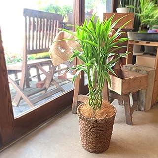 ミリオンバンブー ドラセナ サンデリアーナ 6号鉢サイズ 鉢植え 薫る花 観葉植物 おしゃれ インテリアグリーン 中型 小型
