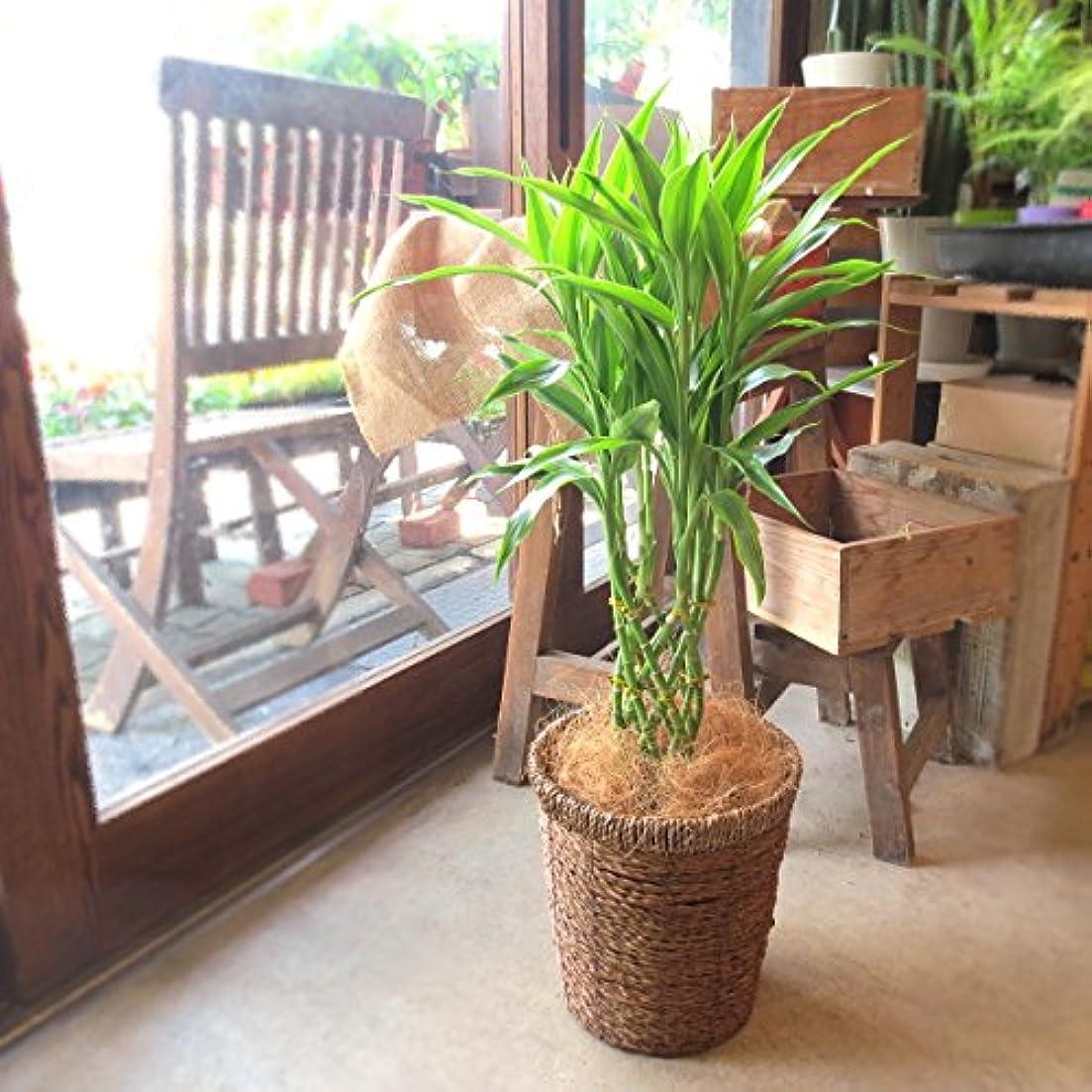 謝罪するスコア増幅器ミリオンバンブー ドラセナ サンデリアーナ 6号鉢サイズ 鉢植え 薫る花 観葉植物 おしゃれ インテリアグリーン 中型 小型