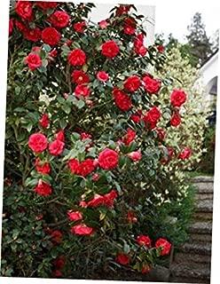 GIA 1 Live Plant - Quart Pot April Tryst Red Camellia Japonica (Zone 6) - RK148