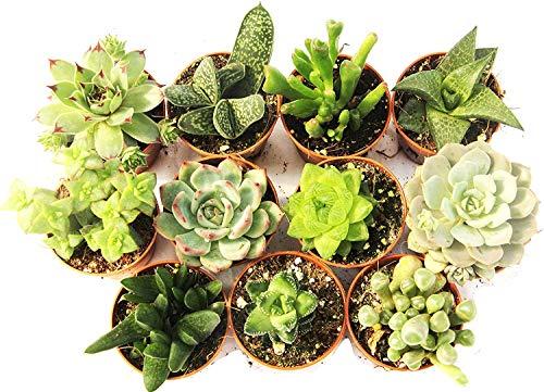 Italy Green Life 12 Piante Grasse Vere Rare Succulente|Vaso Diametro 5.5cm|Coltivazione Senza Spine|Set di Produzione| Piantine Da Interno, Ufficio, Bomboniere, Scrivania| 12 Piante Vere da Interni