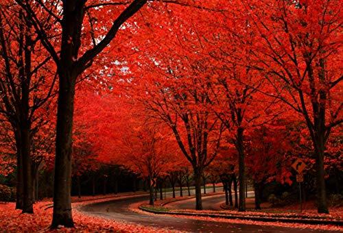 Roble rojo americano - (Quercus rubra) - 8 semillas - semillas muy frescas, muy grandes