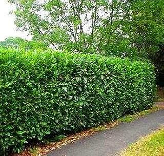 schip laurel bush