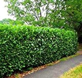 SCHIP Laurel, a Beautiful Cold Hardy Evergreen Plant Great for Low Screens and Hedges